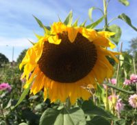 Large yellow sunflower head on an allotment