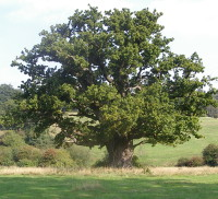 year old Oak, Farnham Park